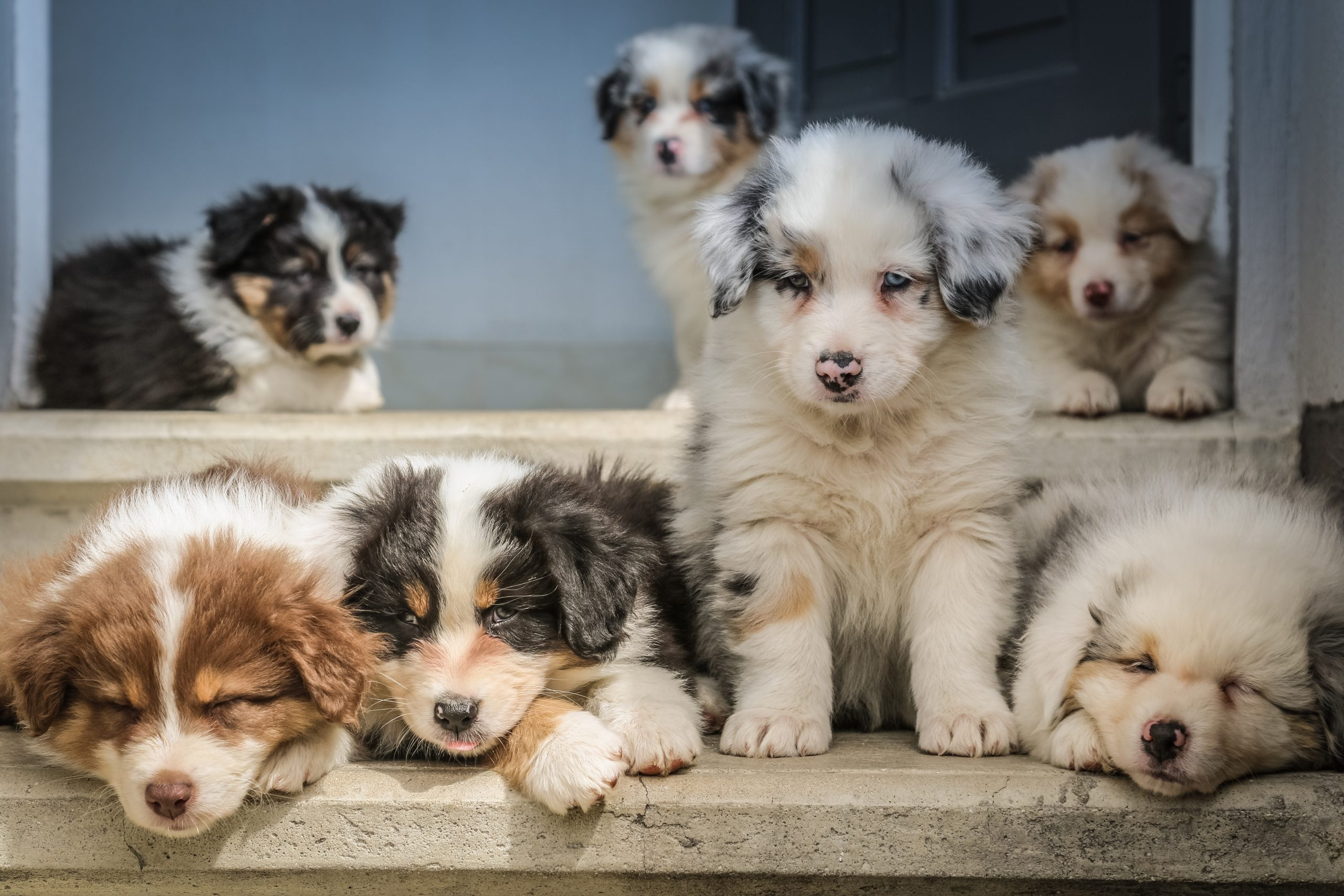 """More photos and videos of Australian Shepherd babies on our facebook page """"bbbergeraustralien"""""""